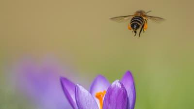 Die Honigbiene ist besonders im Mai und im Juni sehr fleissig. Für die Produktion von Honig sammelt sie den Nektar von Pflanzen. (Bild: Picasa)