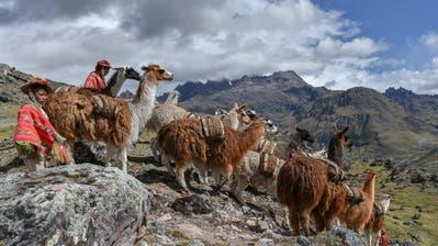 Indio treibt Lamas (Lama glama) mit Säcken beladen, Anden, bei Cusco, Peru, Südamerika. (Bild: Imago)