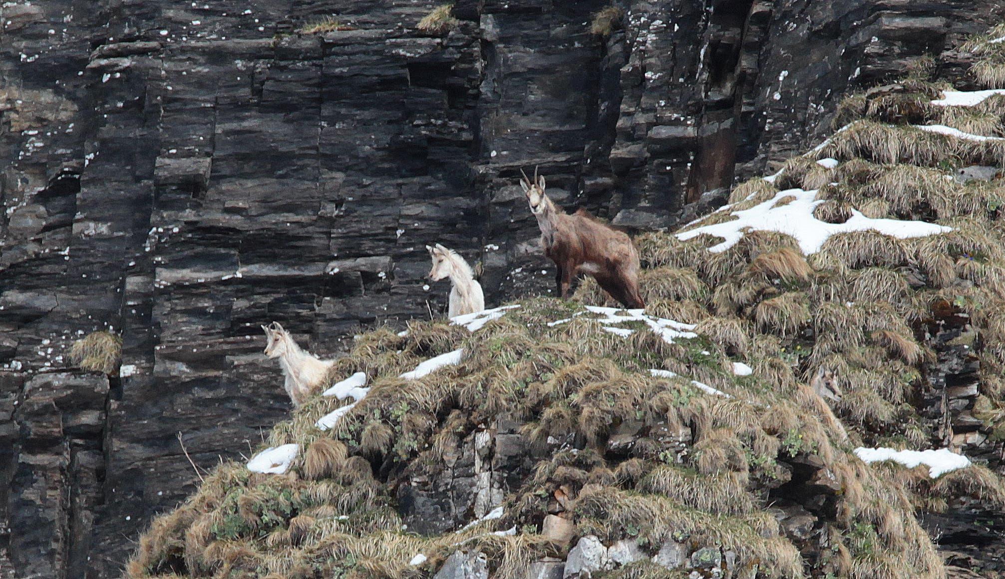 Sensation im Tierreich: In einem Urner Tal haben der Tierfilmer Tony Gnos und sein Sohn Fabian zwei weisse Gämsen vor die Linse bekommen.
