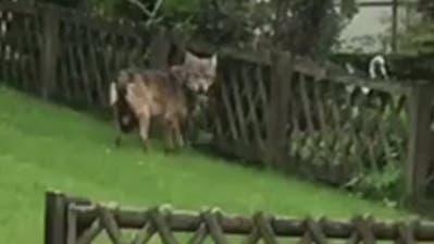 Dieser Wolf streifte durch den Vorgarten unseres Lesers. (Screenshot Leservideo)