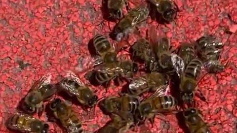 «Es sah so aus, als ob sie vergiftet wurden»: Massensterben von Bienen beim Roten Platz in St.Gallen gibt Rätsel auf