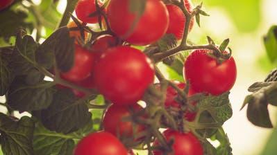 Süss-saure Tomate: Mit einigen Kniffen schmeckt sie noch besser. (Bild: Getty)