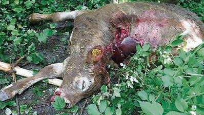 Flucht in die Berge: Ein Rind stürzte über dieLittenwand bei Lienz – wasdie fünf Tiere aufgeschreckt hat, ist ungewiss