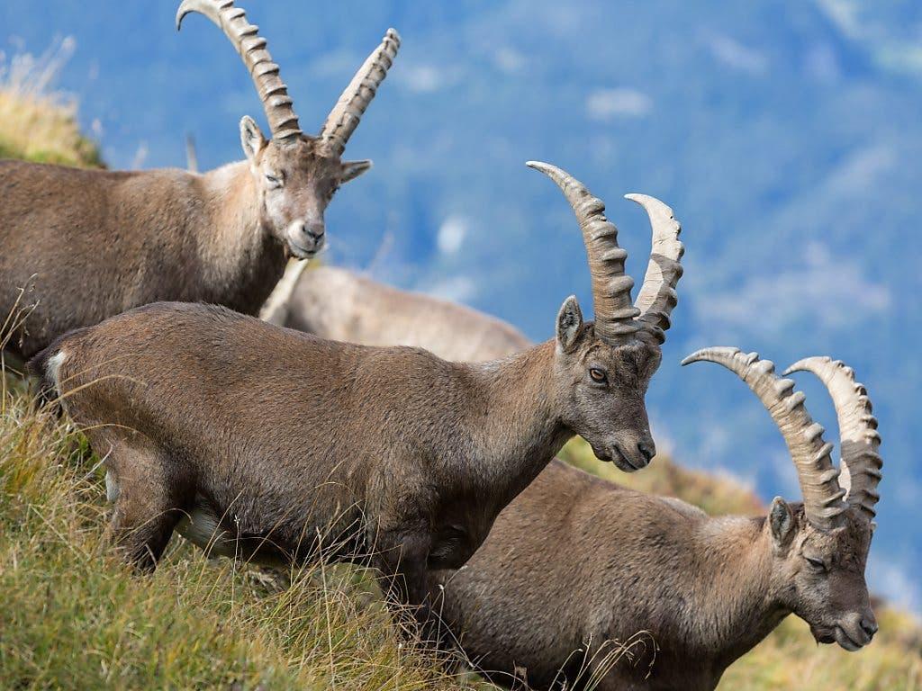 Steinböcke sind wieder in verschiedenen Regionen des Kantons Graubünden anzutreffen. Diese Tiere wurden abgelichtet am Montalin oberhalb von Chur (Archivbild).