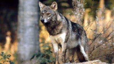 Der Wolf ist umtriebig im Urserntal. (Archivbild: Romano Cuonz,27. Juni 2020)