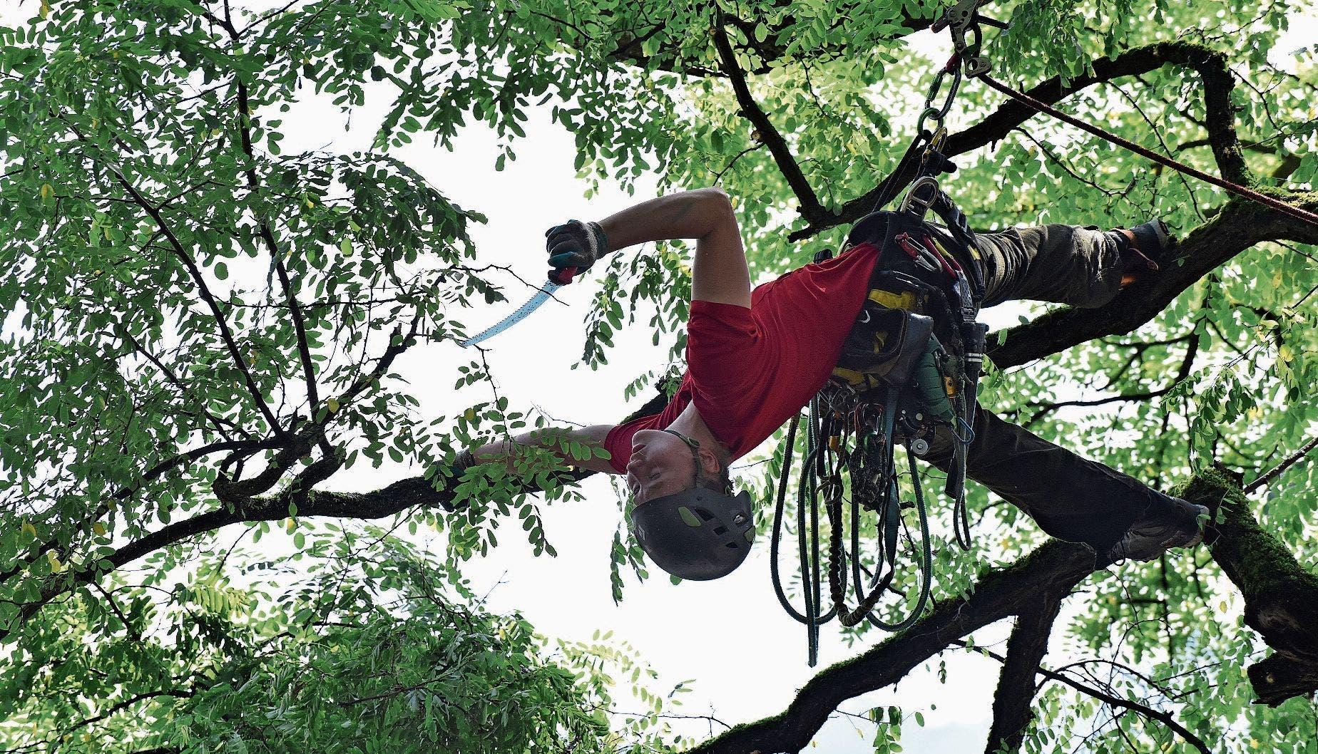 Selbst mit dem Rücken zum Boden in der Robinie hängend können die Baum-Welt-Profis noch arbeiten.
