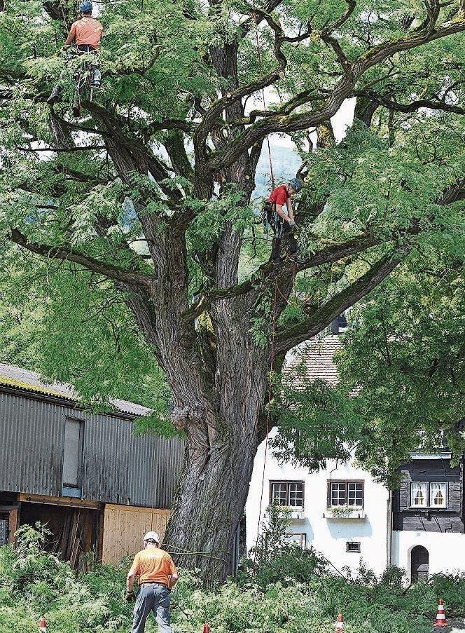 Die Baumpflegspezialisten HF arbeiten sich in luftiger Höhe mit ihren Sägen durch die Robinie.