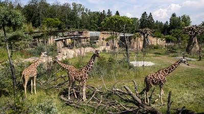 Giraffen im neuen Gehege. (Bild: Alexandra Wey/Keystone (3. Juni 2020))