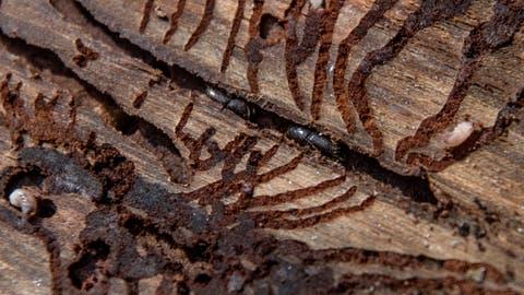 Borkenkäfer fressen sich durch eine Baumrinde. Auch ihre Larven hinterlassen sie im Holz. (Bild: Pius Amrein (24. August 2018))