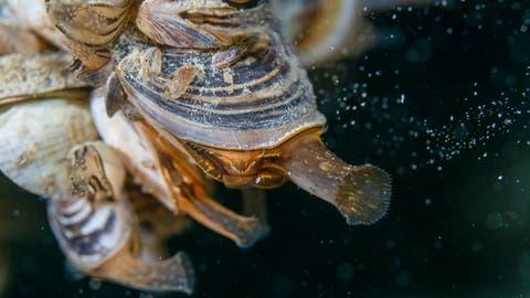 Die hier auf der Makroaufnahme riesig wirkende Quagga-Muschel ist in Wirklichkeit nur 20 bis 30 Millimeter lang. (Bild: Tino Dietsche)