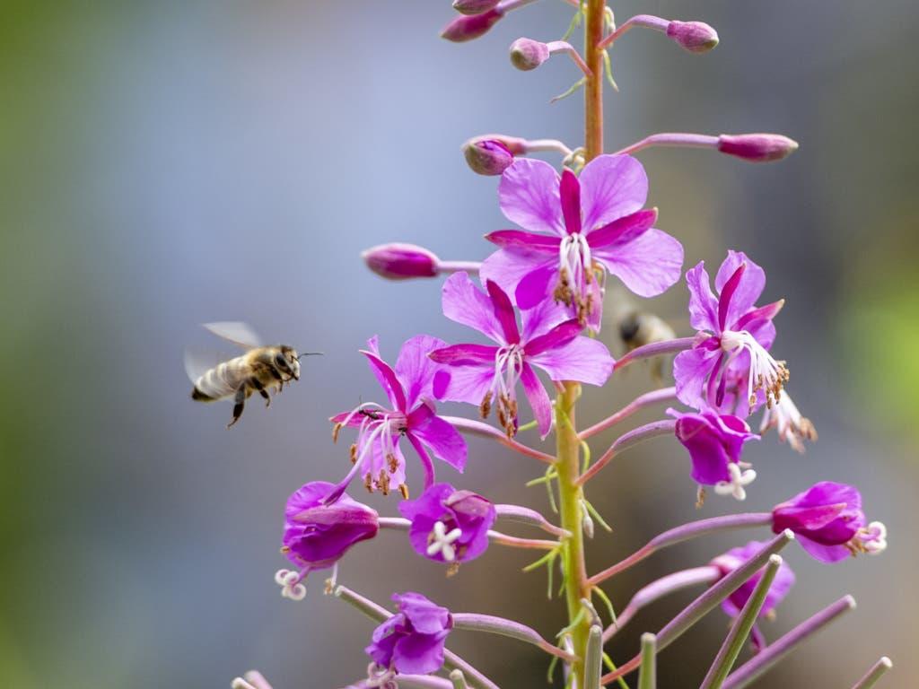Wild- und Honigbienen haben auf dem neuen Insektenpfad im Tierpark Goldau ihren Auftritt.