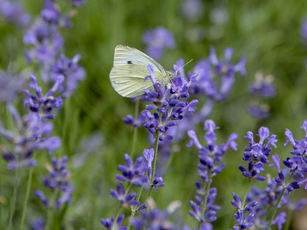 Ein Kohlweissling sitzt im Schmetterlingsgarten im Tierpark Goldau auf einer Blüte.
