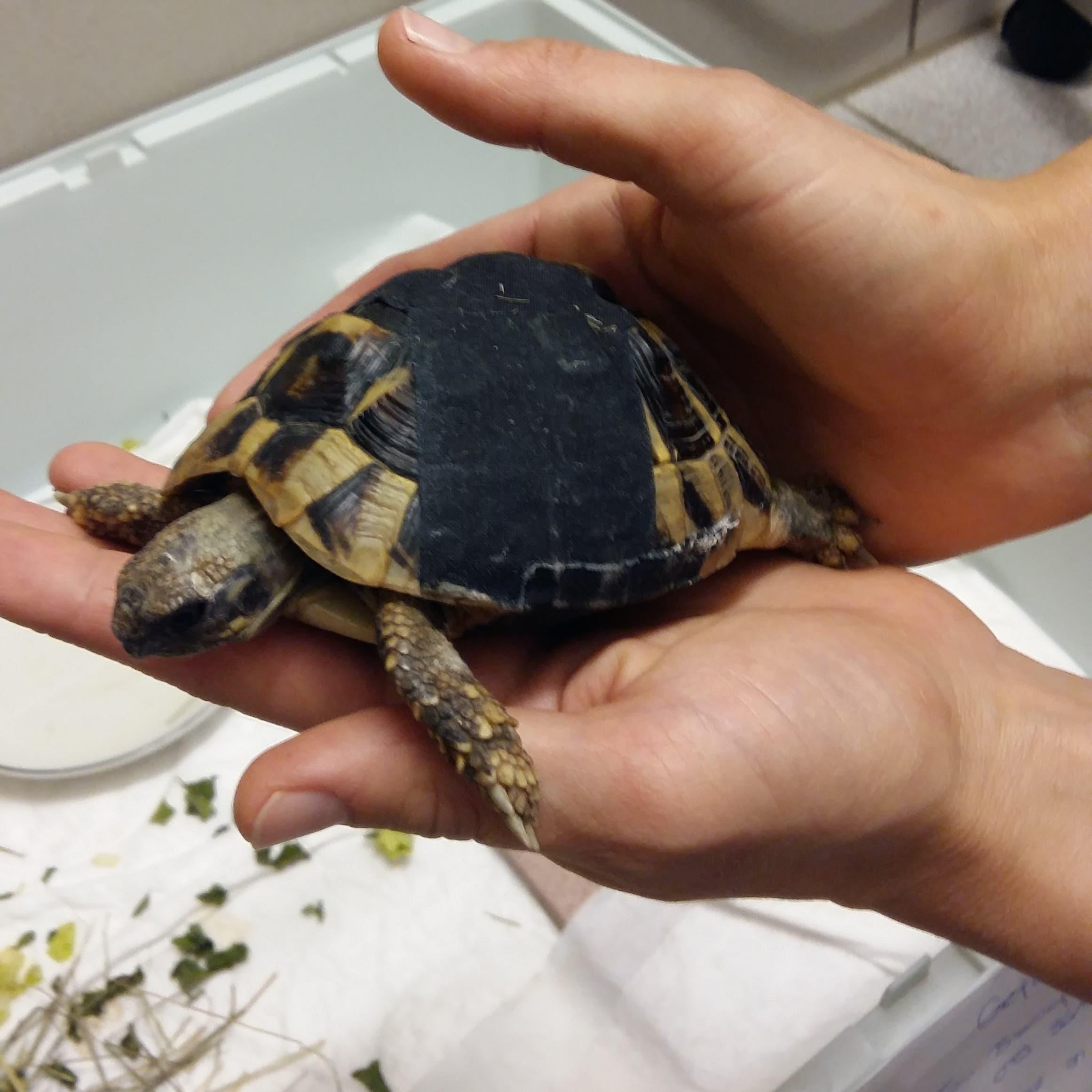 Zugelaufen in Ebnat-Kappel: Landschildkröte, ziemlich sicher männlich, schätzungsweise zwei bis fünf Jahre alt, verletzt.