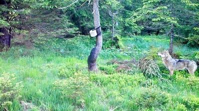 Ein Wolf an einer Salzlecke im Gebiet Dachegg, Nesslau. (Bild: pd)