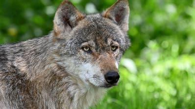 Das geht nur in der Schweiz: Eine Volksabstimmung über den Wolf. (Quelle: Getty Images)