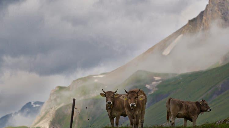 Kuh und Käse statt Corona: Viele Deutsche zieht es im Sommer auf eine Schweizer Alp
