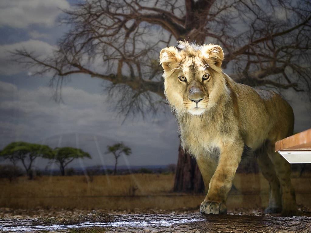 Erst die Anfänge einer Mähne: Der junge Löwe Makuti ist im Zoo von Servion VD eingetroffen.