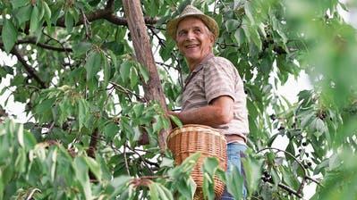 Landwirt Josef Murer pflegt und bewirtschaftet seine Chriesibäume weiterhin, auch wenn ihm Wetter und Schädlinge die Ernte manchmal gründlich verderben.