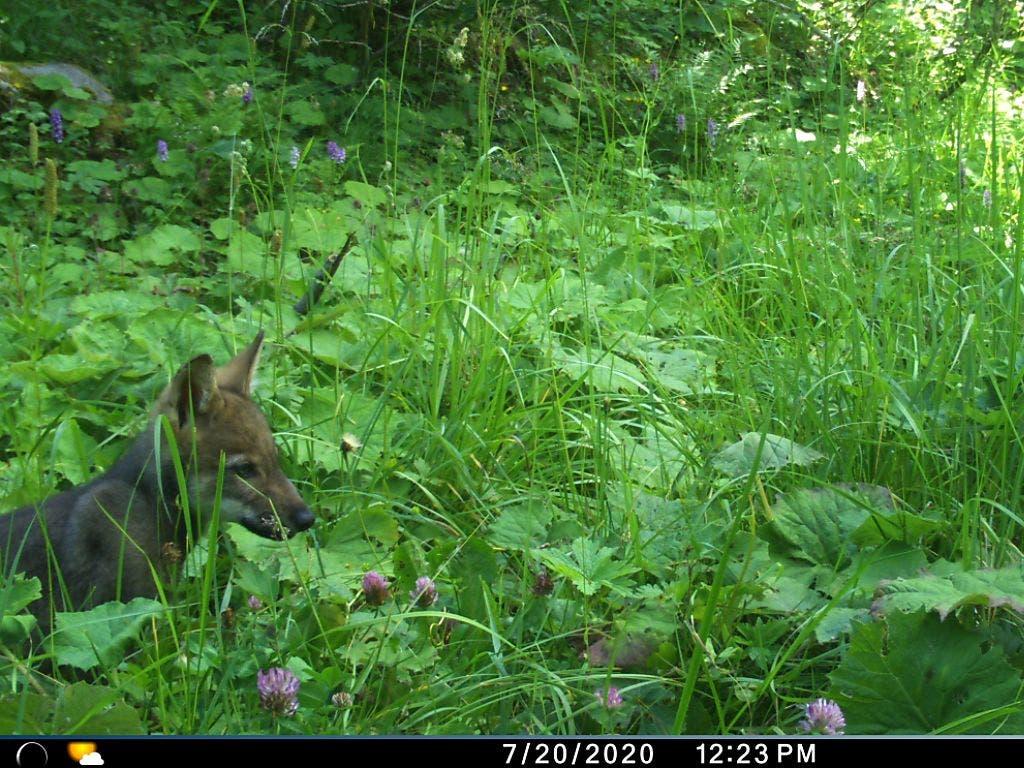 Geblitzt: eines der vier Wolfsjungen im Chablais im Wallis.