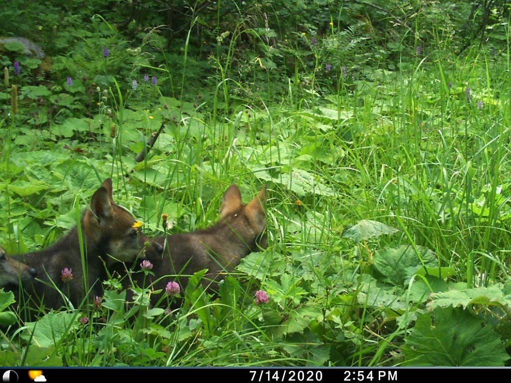 Zwei der vier Wolfsjungen tappten hier in die Fotofalle.