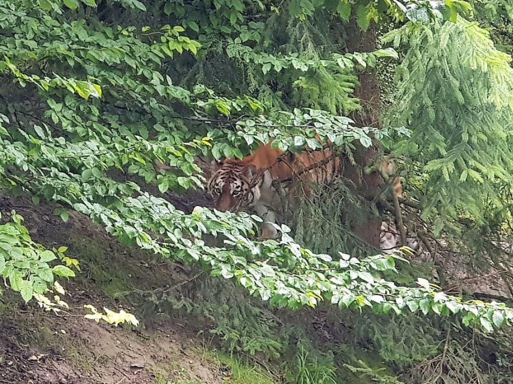 Die Amurtigerin Irina im Tigergehege des Zoo Zürich im Juli 2019. Am Samstag verletzte sie eine Tierpflegerin tödlich.
