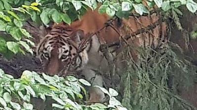 Tigerangriff im Zoo Zürich: Polizei geht von Arbeitsunfall aus