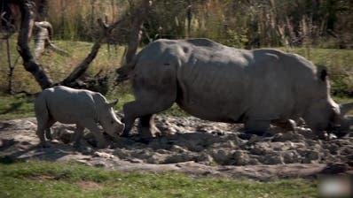 Zoo Zürich: Nashornbaby erkundetzum ersten Mal die Lewa Savanne