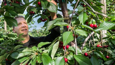 Reto Diener kontrolliert seine Kirschbäume. Die Früchte auf dem Bild werden erst in rund zwei Wochen reif sein. (Bild: Eveline Beerkircher (Triengen, 7. Juli 2020))