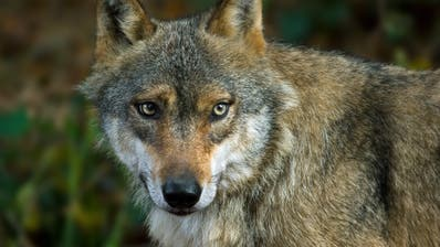 Close-up of European grey wolf (Canis lupus) in forest. (Photo by: Arterra/Universal Images Group via Getty Images) (Arterra / Universal Images Group Editorial)