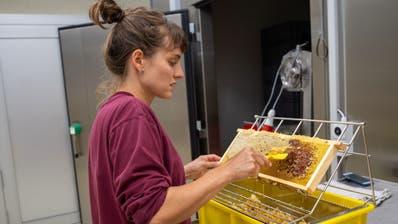 Wenn die Waben mit Honig gefüllt sind, werden sie von den Bienen verschlossen.Darum werden die Honigwaben erst «entdeckelt (Bild: PD)