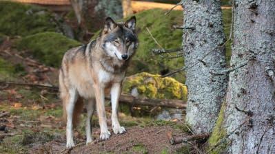 Ein Wolf in freier Wildbahn in den Wäldern von Sumava in der tschechischen Republik. (Bild: Shutterstock)