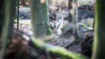 Der aus Italien stammende Wolf mit der Bezeichnung M 135 schlich zwischen Mai und Juli unbemerkt von Aargau nach Appenzell Innerrhoden. (Symbolbild: Benjamin Manser)