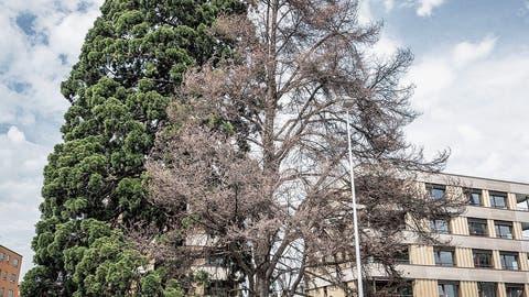 Wegen Lausbefall: Geschützter Baum beim «Hubhof» in Romanshorn stirbt