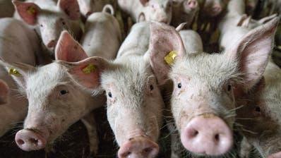 Zu viel Schweinegülle sorgt für überschrittene Phosphorgrenzwerte in Böden und Seen. (Bild: Pius Amrein)