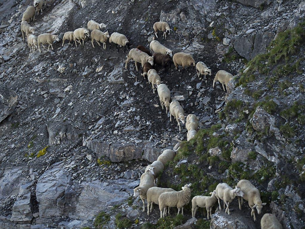 1300 Schafe wie an einer Kette aufgereiht: Am Freitagmorgen fand hoch über dem Bündner Rheintal die traditionelle Schafwanderung statt. Die Tiere müssen in Einerkolonne alpines Gelände durchqueren.