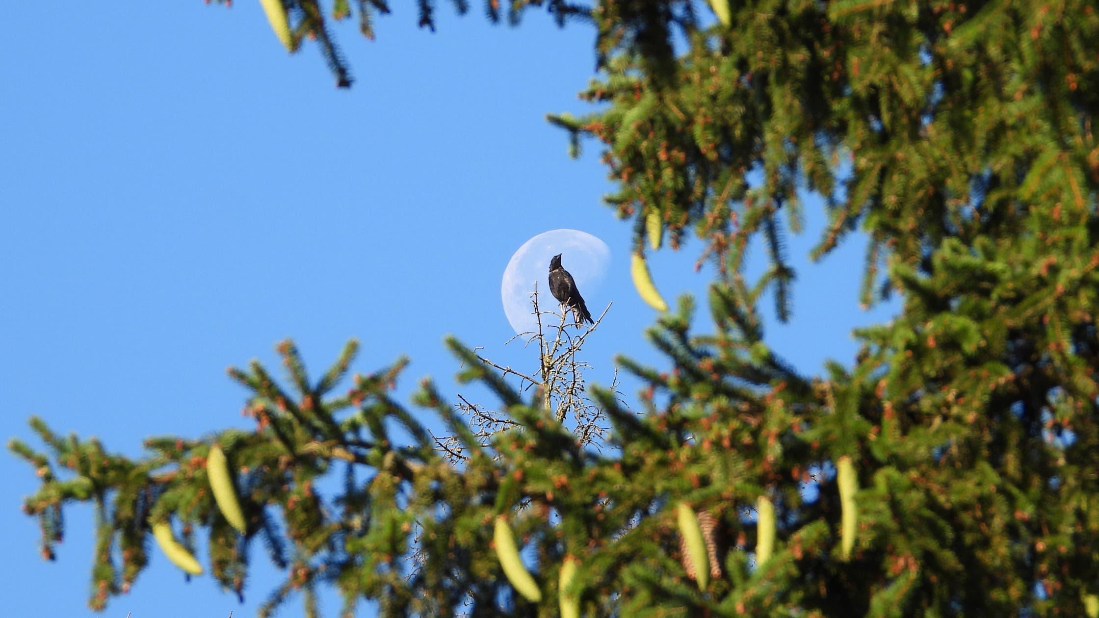 Was kümmert es die Rabenkrähe, wenn der Mond noch scheint. (Bild: Claude Besancon)
