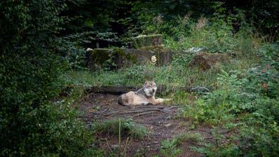 «...dann jagt er weiter und weiter»: Den St.Galler Wölfen auf der Spur