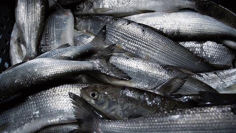 Ärger wegen Aquakulturen: Berufsfischer wehren sich gegen Fischzuchtanlage im Bodensee