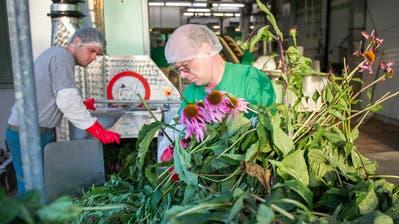 Das Heilkraut Echinacea bei der Verwertung zum Heilmittel in der Bioforce Vogel AG in Roggwil (TG). (Bild: Urs Bucher)