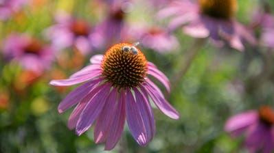 Aus dem Roten Sonnenhut wird der Wirkstoff Echinacea gewonnen, der anti-virale Wirkung hat. (Pius Amrein)