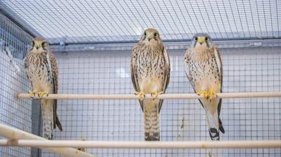 Patienten der Wildvogelpflegestation im Naturmuseum. (Claudio Heller (30. Januar 2017))