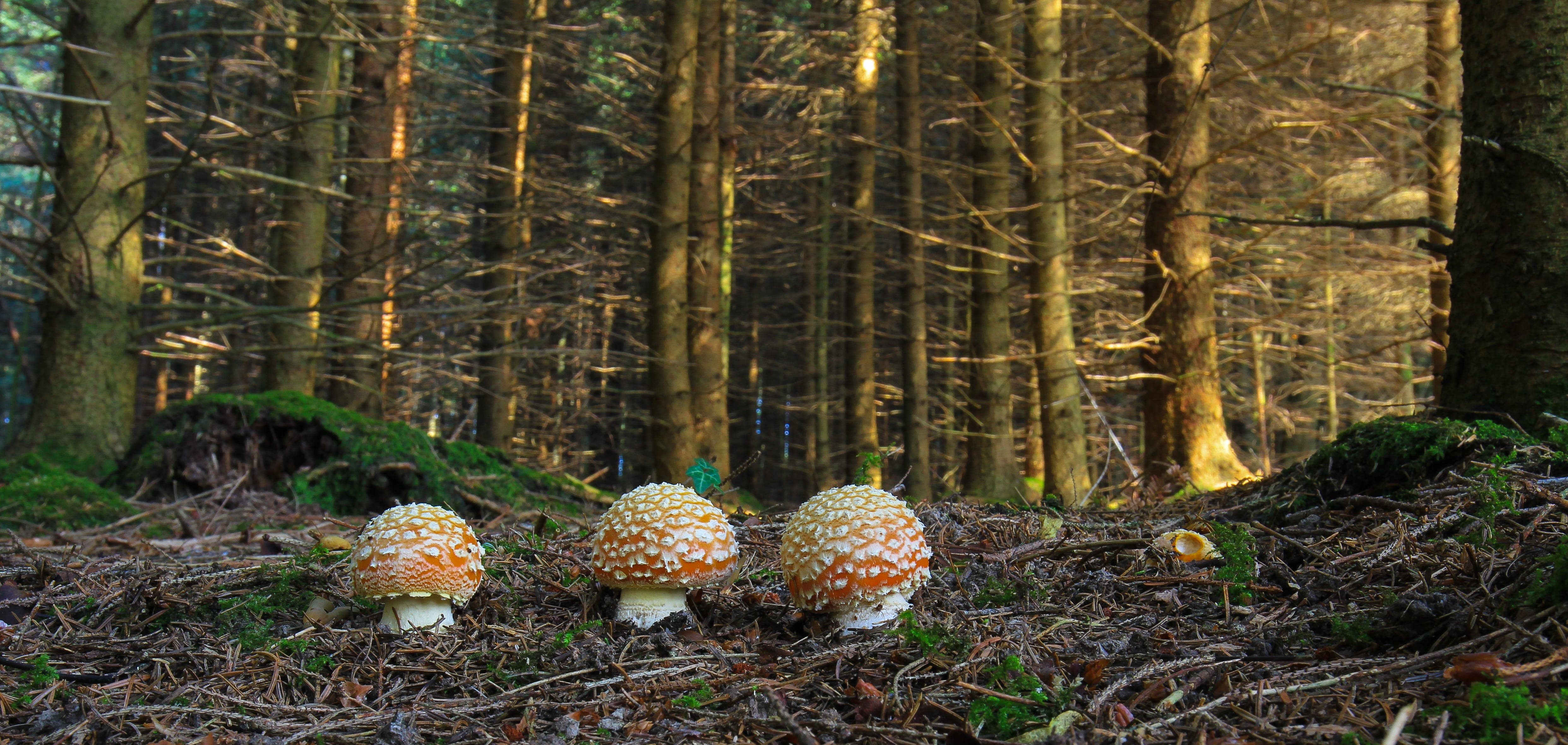 Militärisch gerade ausgerichtete Fliegenpilze stellen sich im Bresteneggerwald zur Schau.