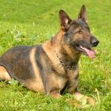 Mann klaut in Kriens unter KokaineinflussMountainbikes – dann stoppt ihn Polizeihund Capo
