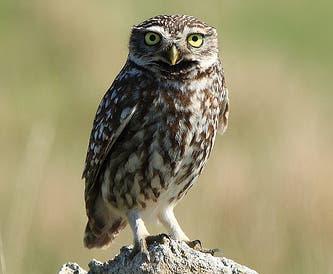 Vögel in der Schweiz: gefährdete und ausgestorbene Arten