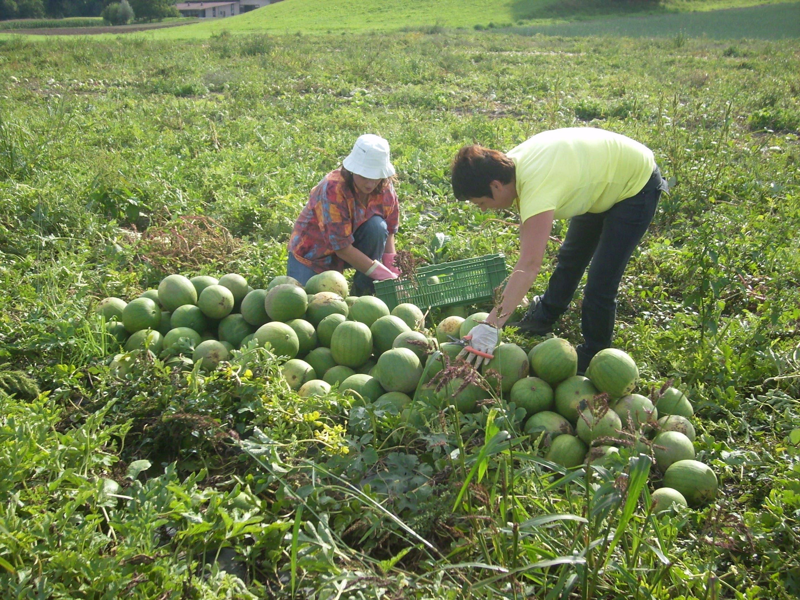 Freiämter Wassermelonen: Frisch vom Feld in das Verkaufsregal