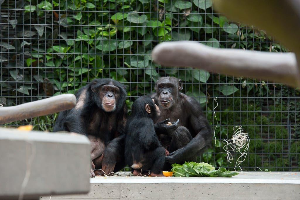Schimpansen gefällt es im neuen Heim