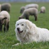 Wanderer sollen Herdenschutzhunden aus dem Weg gehen