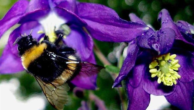Wegen fehlender Bienen bestellen Bauern Hummeln