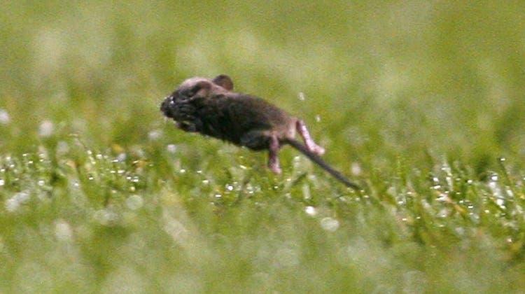Zwei Franken für eine Maus: Die Jagd auf die Nager beginnt