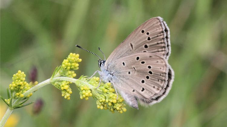 Seltene Schmetterlings-Art findet den Weg zurück ins Baselbiet
